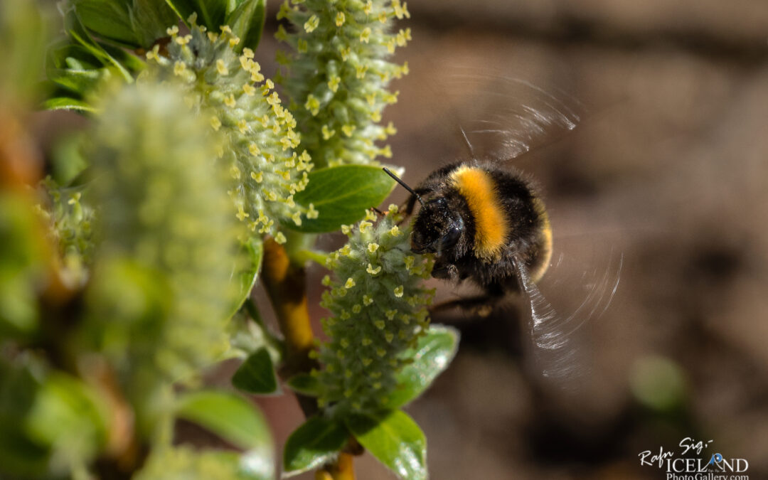 Time to fly home (Bee – Býfluga) – Iceland insects photography