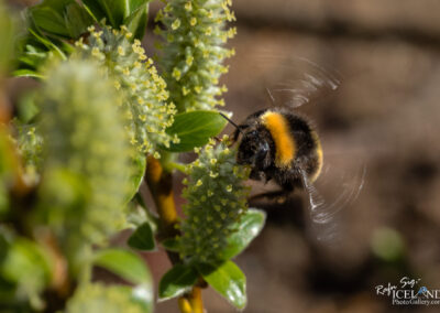 Bee – Býfluga │ Iceland insects photography