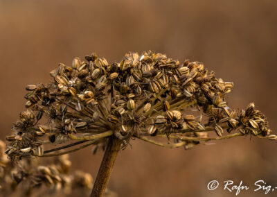 Hvönn – Angelica │ Iceland Nature Photographing