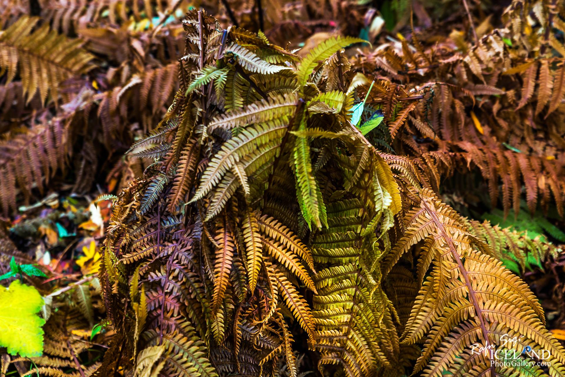 Icelandic Autumn Flora │ Iceland Nature Photography