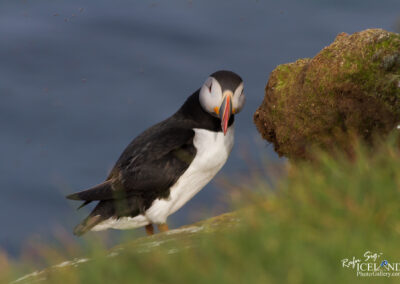 Lundi – Puffin at Látrabjarg Cliffs │ Iceland Nature Photography