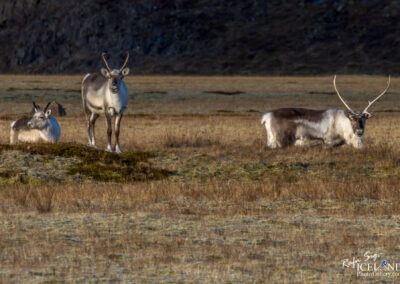 Reindeer looking at you │ Iceland Nature Photography