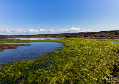 Seaweed on a Lava beach - South │ Iceland Landscape Photograph