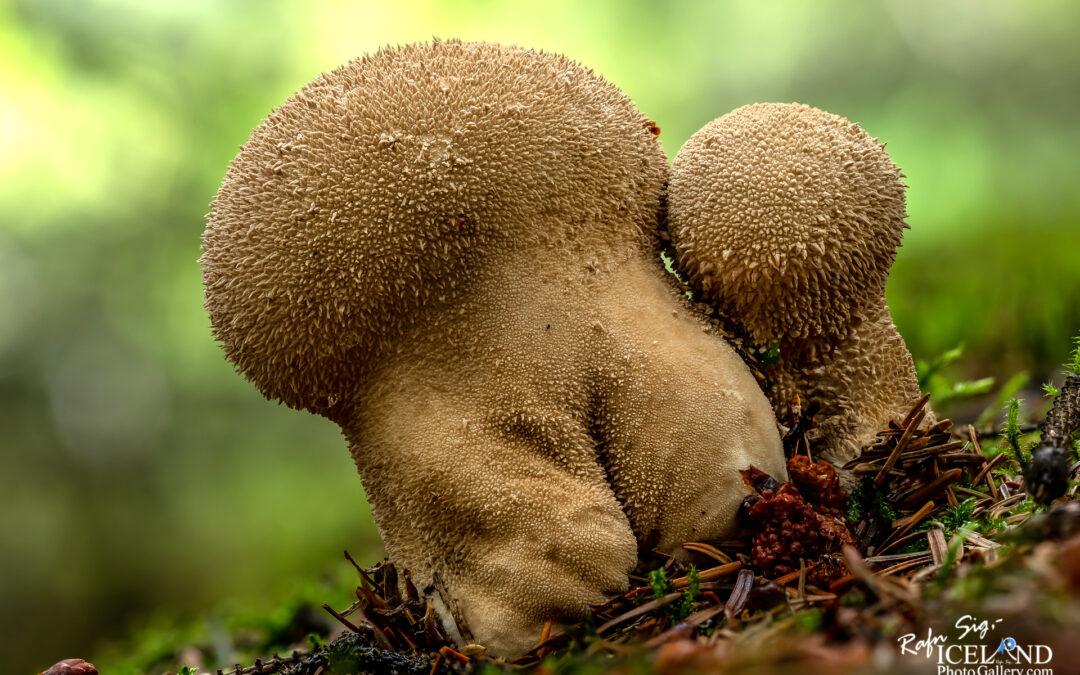 Sveppur – Fungus 1 – Macro Photography