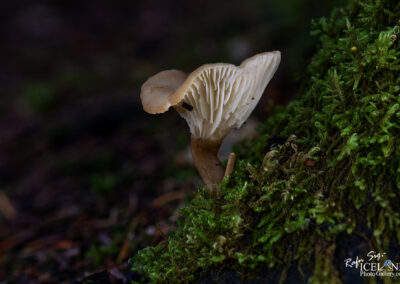 Sveppur - Fungus │ Iceland Flora Photography