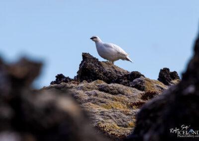 Rock ptarmigan on Lava stone│ Iceland nature photography