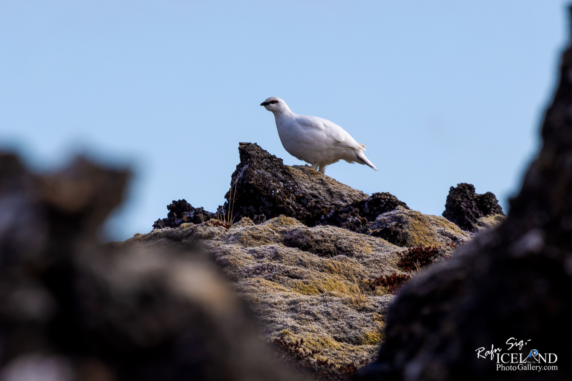 Rock ptarmigan on Lava stone│ Iceland nature photography