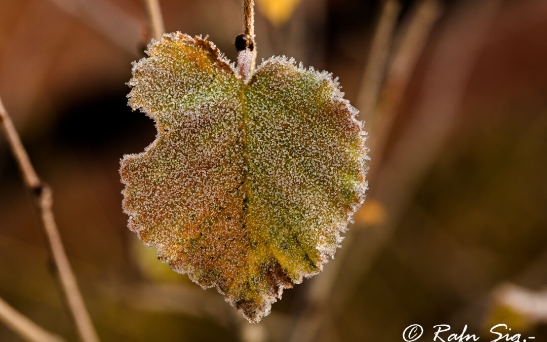 Frosted birch leaves – Iceland Nature Documentary