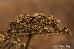 Hvönn – Angelica – Iceland Nature Photographing