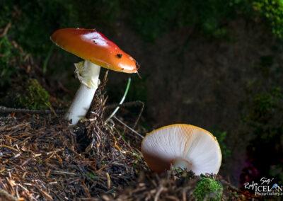 Sveppur - Fungus │ Iceland Nature Photography