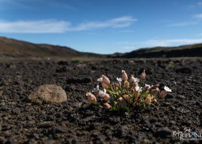 Holurt - Flugublóm - Silene uniflora │ Iceland Nature Photogr