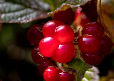 """Hrútaber"" Rubus saxatilis, or stone bramble │ Iceland Na"