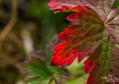 Icelandic Flora │ Iceland Nature Photography