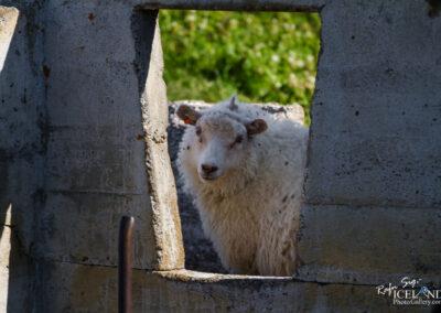 Icelandic sheep at Látraströnd - North │ Iceland Landscape