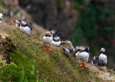 Lundi - Puffins │ Iceland Nature Photography