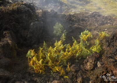 Stóriburkni - Dryopteris filix-mas │ Icelandic Flora