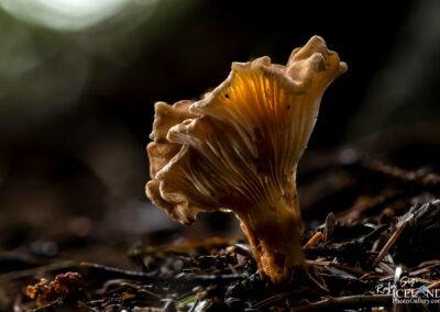 Sveppur - Fungus │ Iceland Flora Photography