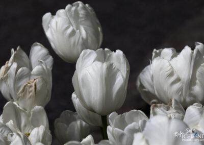 White Tulips │ Iceland Nature Photography