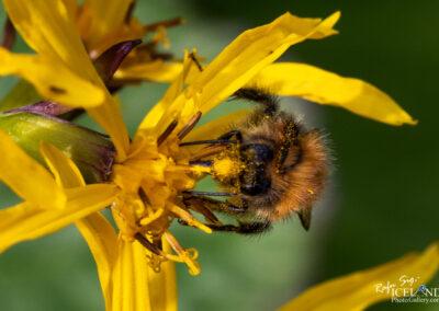 Hunangsfluga - honey fly │ Iceland Nature Photography