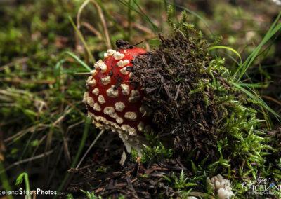 Berserkjasveppur │ Amanita muscaria │ Macro Photography