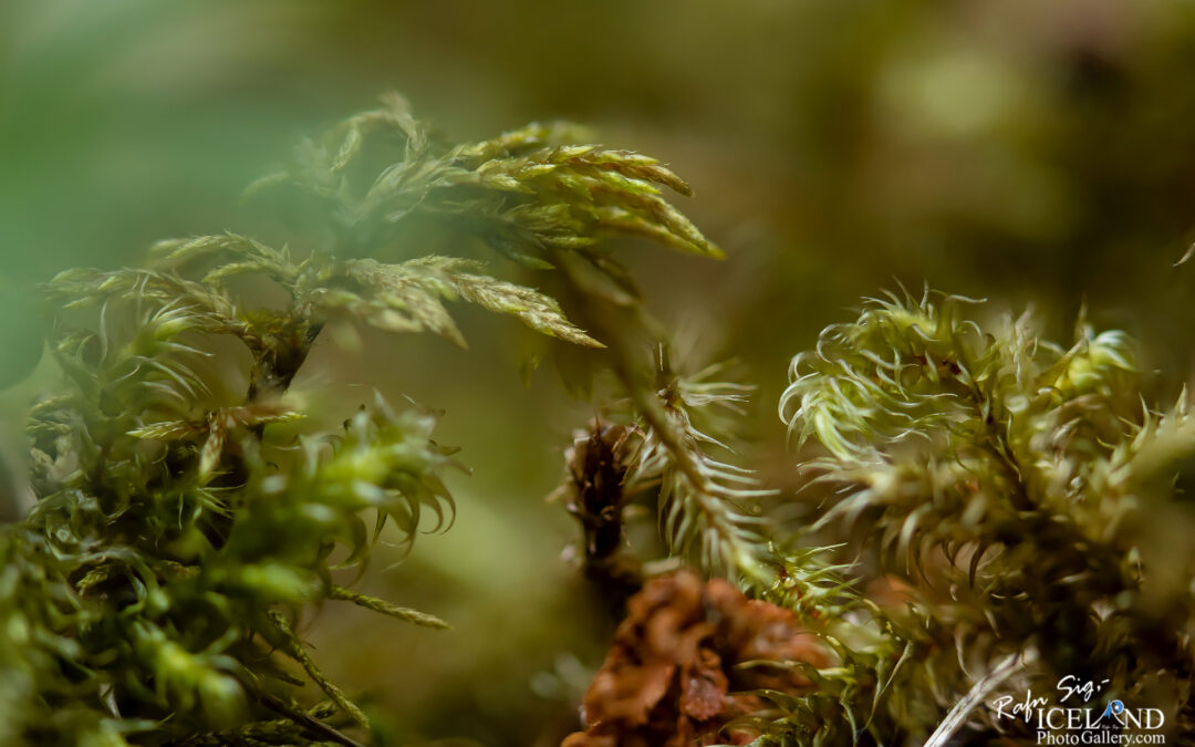 Icelandic Flora – Iceland Photo Gallery