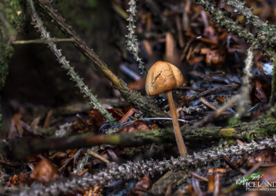 Sveppur │ Fungus │ Iceland Photo Gallery